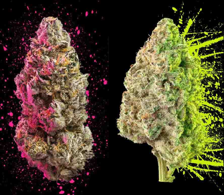 The battle of indica vs sativa